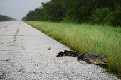 NEW ORLEANS - SEPT 1: An alligator crawls along an empty freeway during a curfew imposed because of Hurricane Gustav on September 1, 2008 near New Orleans. poster