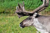 Closeup of male reindeer head in Lapland, Scandinavia poster