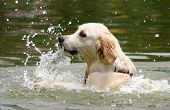 young white lab swimming and splashing in lake on a hot day poster