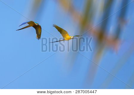 Flying Blue And Yellow Macaw parrot, Ara Ararauna, palm lagoon Lagoa das Araras, Bom Jardim, Nobres, Mato Grosso, Brazil, South America poster