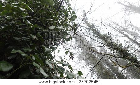 Ivy On Trees In Misty Forest. Close-up Of Ivy Growing On Trees Against Background Of Trunks And Bran