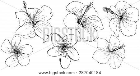 Vector Hibiscus Floral Tropical Flowers. Black And White Engraved Ink Art. Isolated Hibiscus Illustr