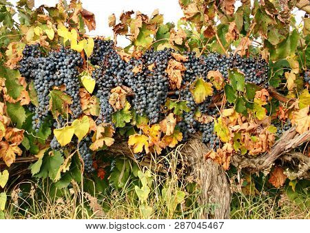 Large Brush Of Dark Grapes On The Vine. Autumn Harvest Of Grapes. Grapes Called The Berry Of Life. V