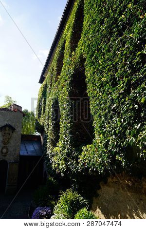 Ivy Wall On Ancient Building And Some Windows