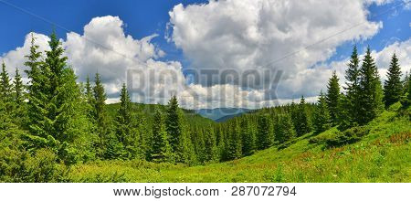 Forest In Summer Country. Evergreen Conifer Forest In Summer Highland