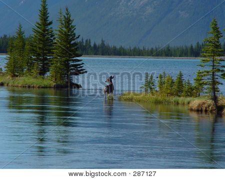 Mule Deer In Lake Shallows