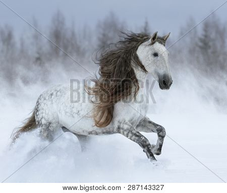 Dapple-grey Purebred Andalusian horse with long mane galloping during blizzard across winter snowy field.