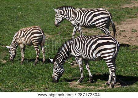Grant's zebra (Equus quagga boehmi). Wild life animals.