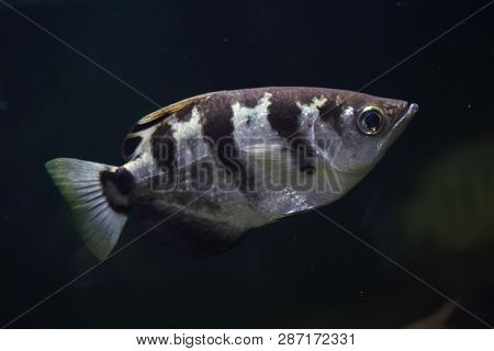 Banded archerfish (Toxotes jaculatrix), also known as the spinner fish.