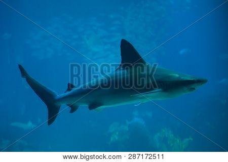 Sandbar shark (Carcharhinus plumbeus), also known as the thickskin shark.