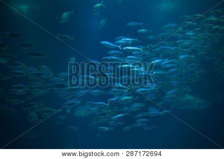 Atlantic chub mackerel (Scomber colias).