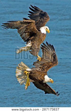 Bald Eagles Battle In Flight For Fish