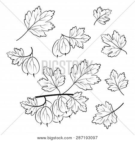 Set Of Gooseberry, Berries And Leaves, Black Pictograms Isolated On White. Vector