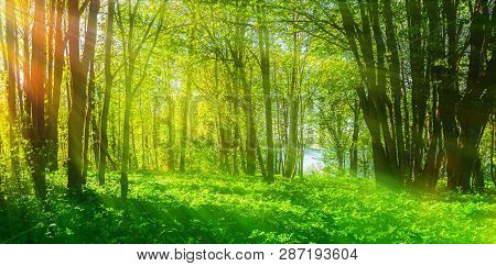 Forest summer landscape - forest summer trees with grass on the foreground and sunlight shining through the forest trees. Sunny colorful forest summer nature