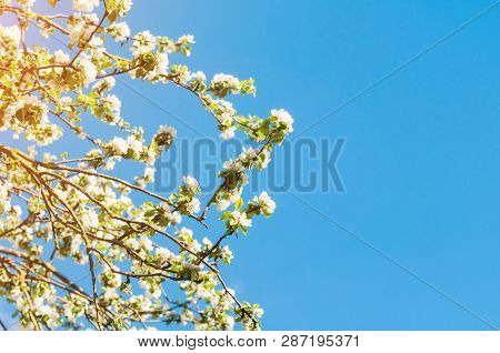 Spring flower landscape. Spring flowers of blooming apple tree against blue sunny sky