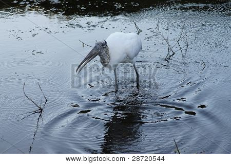 Wood stork wading in a pond looking for fish poster