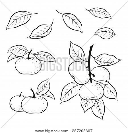 Set Of Tangerines, Mandarins Orange Fruits And Leaves, Black Pictograms Isolated On White. Vector