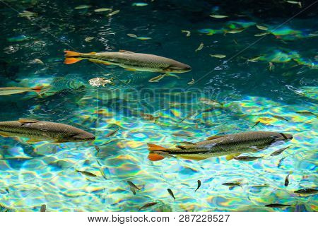Brycon Hilarii, Piraputanga fishes in cristal clear water of the Salobra river, Bom Jardim Nobres, Mato Grosso, Brazil, South America poster