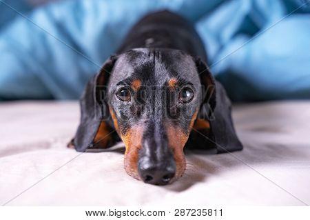 Cute A Dachshund Dog, Black And Tan Sleeping On  Human Bed, Sadly Looking At Camera