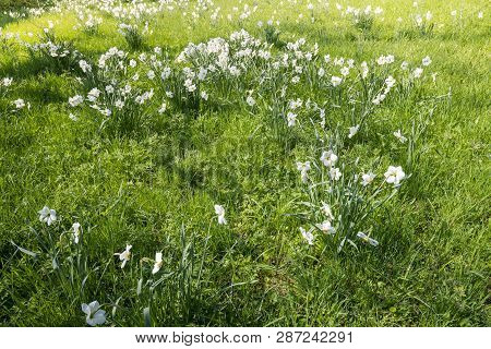 Spring Meadow With White Flowers And Sunshine