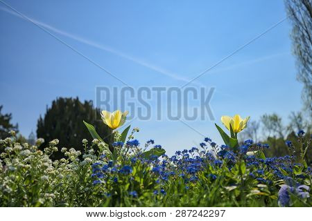 Close Up Of Two Yellow Tulips And Other Spring Flower
