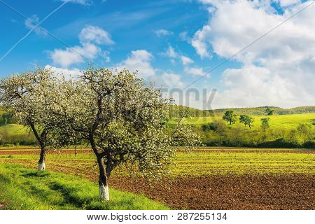 Blossoming Trees Near The Agricultural Field. Wonderful Countryside Landscape In Springtime. Grassy