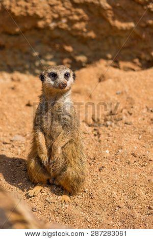 Meerkat Animal (latin Name Suricata Suricatta) In The Wild. Detail Of African Animal Walking On The