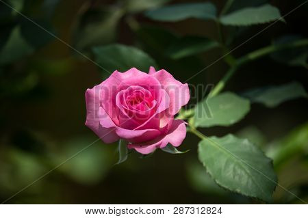 Pink  Rose Flower With Green Leaf