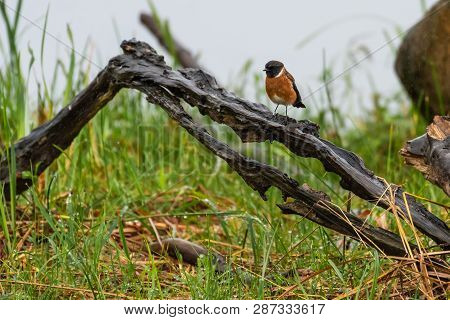 A Common Stonechat Perched On Wood On A Rainy Morning In The Natal Midlands, South Africa.