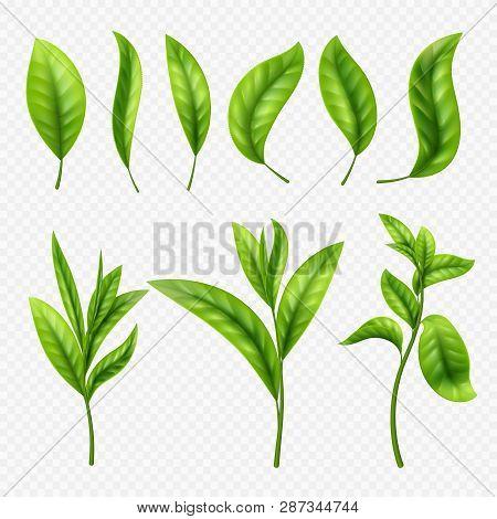 Vector Realistic Tea Leaves On Transparent Background. Leaves Tea Leaf, Organic Ceylon Sprout Illust