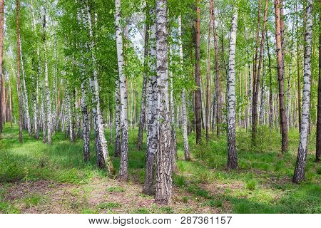 Fragment Of The Deciduous And Conifer Forest With Birches On A Foreground On A Spring Day
