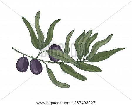 Botanical Drawing Of Olive Or Olea Europaea Tree Branch With Leaves And Black Fruits Or Drupes Isola