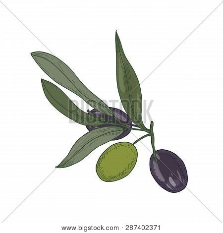 Olive Or Olea Europaea Tree Branch Or Sprig With Leaves And Black And Green Fruits Or Drupes Isolate