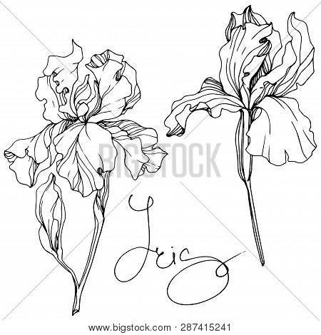 Vector Iris Floral Botanical Flower. Black And White Engraved Ink Art. Isolated Iris Illustration El