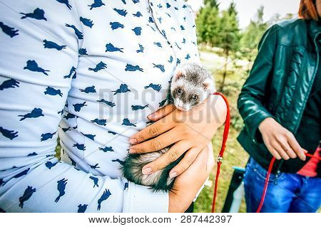 Home Little Raccoon In The Hands Of Woman