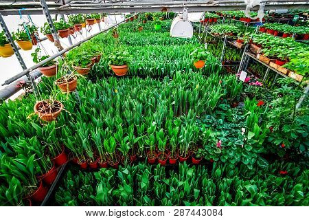 Industrial Cultivation Of Flowers Tulips In Big Greenhouse