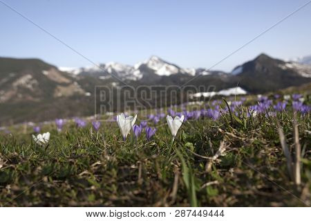 Meadow Of Crocus In Bloom, In Front Of Mountain Panorama