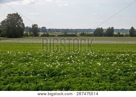Potatoes Plants With White Flowers Growing On Farmers Field. Landscape With Flowering Potatoes. Summ
