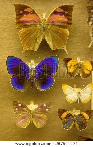 Butterfly Collection In A Zoological Collection For Systematic