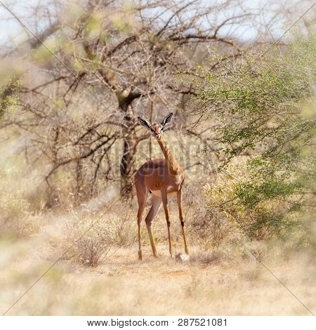 Gerenuk, or giraffe gazelle, foraging in the shade of acacia trees in Amboseli National Park, Kenya. This antelope is indigenous to dry areas of East Africa and is threatened due to declining numbers