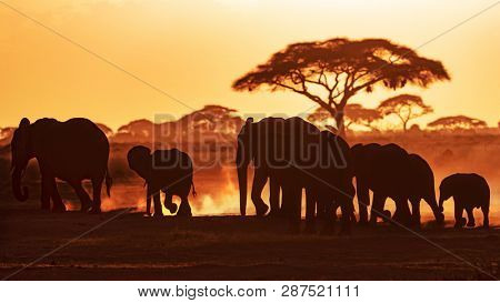 Elephants march through Amboseli National Park at sunset, against a backdrop of dust and acacia tress.