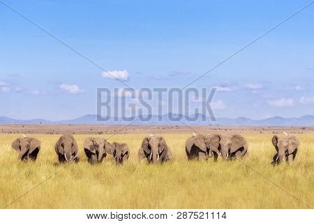 A herd of elephants walk through Amboseli National Park, Kenya. This family group  is against a backdrop of the foothills of Mt Kilimanjaro and blue sky, and some egrets are coming along for the ride.