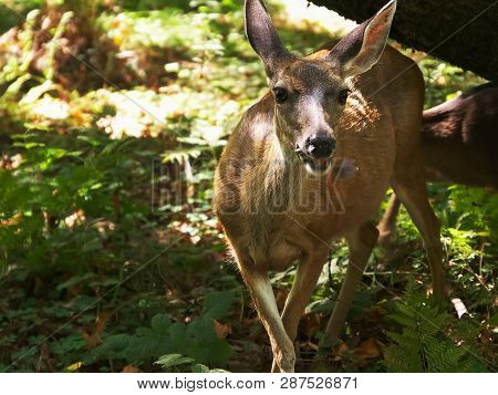 A Doe And Fawn Feed Among Redwood Trees At Muir Woods
