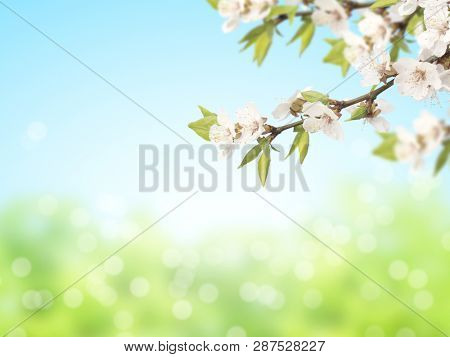 Abstract sunny blur spring background of green and blue colors with flowers of cherry. Mock up template. Copy space for text