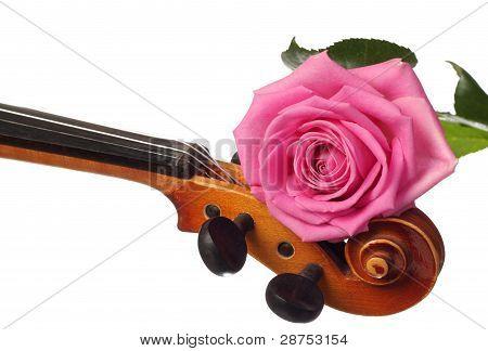 pink rose on a violin