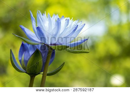 Two Beautiful Lotus Flower Blooming On Blur Background In Bright Day With Copy Space