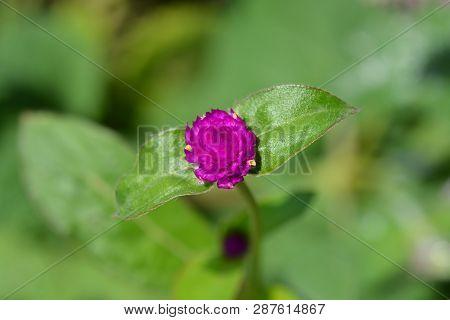 Globe Amaranth Violacea - Latin Name - Gomphrena Globosa Violacea