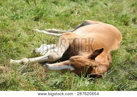 Sleeping Foal On Pasturage