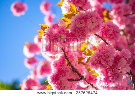 Cherry Blossom. Sacura Cherry-tree. Springtime. Spring Flowers With Blue Background And Clouds. Bran