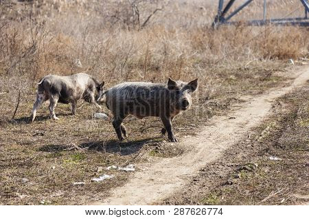 A Couple, A Family Of Wild Boars Freely Walking On The Outskirts Of The Industrial District Of The C